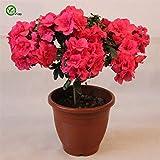 Semillas en macetas de interior Semillas de flores de azalea Semillas de flores muy bonitas Planta de bonsai para el jardn de su casa 100 Partculas/lote T045