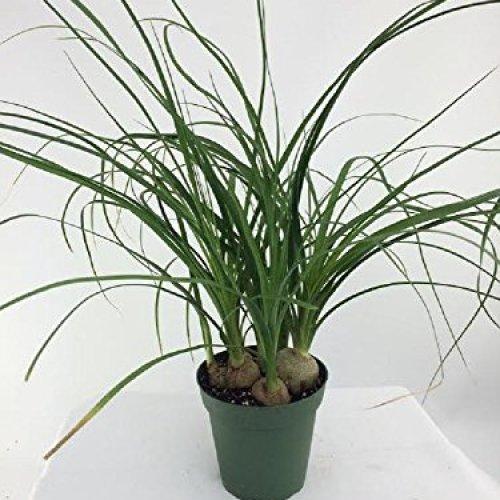 "Jm Bamboo Ponytail Palm - 6"" Pot"