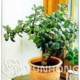 Pinkdose 20pcs planta Crassula ovata Bonsai planta de Bonsi. Rara planta Cielo Crassula ovata japons. Balcn Plantas para el jardn de