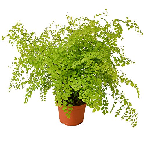 HOUSE PLANT SHOP | Fern 'Maidenhair' - 6' Pot | Live Indoor Plant | Free Care Guide