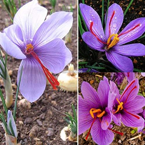 AGROBITS 50P: jardin usine Safran bulbes Crocus sativus Graines de fleurs Er99