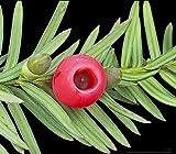 Taxus baccata - Tejo Ingls - 20 semillas frescas