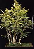 TROPICA - Jacarand (Jacaranda mimosafolia) - 50 semillas- Bonsai