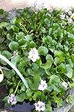 Water Hyacinth Pond Plant Live Plants Bundle of (3) Aquarium Plants Floating