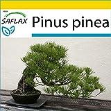 SAFLAX - Set de cultivo - Pinos pioneros - 6 semillas - Con mini-invernadero, sustrato de cultivo y 2 maceteros - Pinus pinea