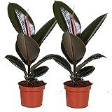 Plantas de interior de Botanicly  2  Gomero  Altura: 30 cm  Ficus Elastica Robusta