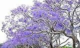 Otoo de oro Farm- 25 semillas azules del rbol del Jacaranda Jacaranda Mimosifolia/Excelente como Bonsai