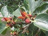 Ficus rumphii Grmenes del rbol exticas nico!