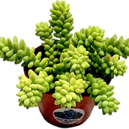 Fat Plants San Diego Succulent Plants -Donkey Tail