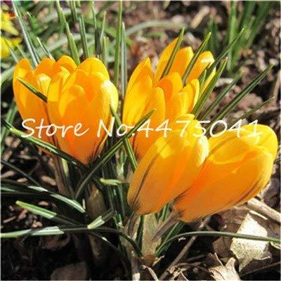 AGROBITS Des graines: 200 Pcs Bonsai safran Crocus Seedsflower (Non Safran Bulbes) les plantes en pot So Fragrant Light Up Votre persoanl Jardin: 15