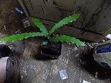 Germination Les graines: Noix de Macadamia Arbre graines Ling 8 à 10...