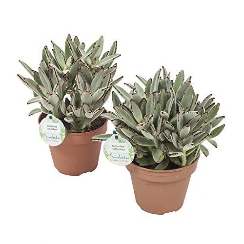 Cactus et plantes grasses de Botanicly – 2 × Plante panda – Hauteur: 28 cm – Kalanchoe tomentosa