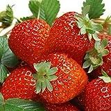 Lot de 100 graines de fraise, de fraises, de fruits, de bonsaï, de balcon, de...