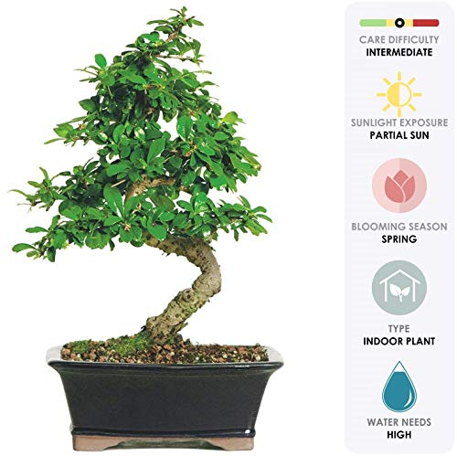 "Brussel's Live Fukien Tea Indoor Bonsai Tree - 6 Years Old; 6"" to 10"" Tall with Decorative Container"