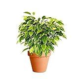 Ficus Benjamina Variegata con Maceta de Cermica Ficus Benjamina Kinky Planta de Interior
