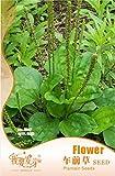 Graines Plantain Herb, emballage d'origine, 50 graines / Pack,...