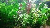 Aqua Plants 40 Plantas de Acuario en Vivo coleccin de Plantas acuticas