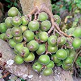 Plant World Seeds - Ficus Racemosa Seeds