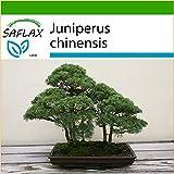 SAFLAX - Enebro de la China - 30 semillas - Con sustrato estril para cultivo - Juniperus chinensis