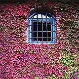 perennes Resistentes para balcn,Parthenocissus Creeper Cuatro Estaciones de Hoja perenne Planta Flor semilla-Fucsia 120,Flores Semillas Planta Bonsai