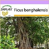 SAFLAX - Higuera de Bengala - 20 semillas - Ficus benghalensis