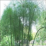 Tropica - Plantas Acuticas - Papiro Egipcio (Cyperus papyrus) - 15 Semillas