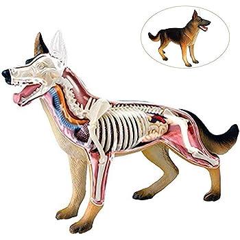Dog Anatomy Skeleton Model (Plastic model): Amazon.co.uk ...