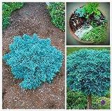 Shopvise 30 piezas Evergreen Colorado Blue Spruce Picea Pungens Semilla de Glauca Semillas de jardn Ers * Sementes: Marrn