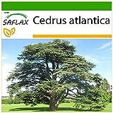 SAFLAX - Cedro azul del Atlas - 20 semillas - Con sustrato estril para cultivo - Cedrus atlantica