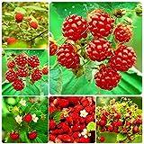 Adolenb Seeds House- Jardin Des Framboises Rouges 50pcs Des Plantes De Framboises'La...