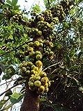 VISA STORE 5 Semillas de Ficus Hispida semilla nico
