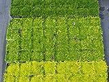 Importados 20pcs / bag musgo irlands Semillas Sagina subulata Semillas Mox Moss casera de las semillas del jardn creativo Guarnicin de la planta DIY liberan