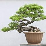 . Japoneses Negro 20 semillas de pino * Pinus thunbergii * Bonsai * * ornamental. Bonsai rbol de hoja perenne de semillas bonsai