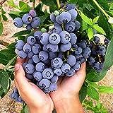 Kisshes Seedhouse - 50pcs Bio Rare Myrtille 'Giant Patriot' Bleu plante vivace...