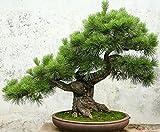 Semillas del rbol de pino Pinus thunbergii Semillas Semillas Bonsai en maceta paisaje del jardn, 50 semillas / bolsa