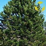SEMILLAS DE AUSTRIA PINO Pinus nigra Austriaca