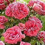 Rosa floribunda'Kimono'   Fleurs roses  ...