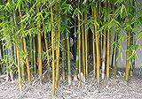 Bonsai Imber semillas de bamb con las instrucciones - Bambusa oldhamii decoracin de jardn de plantas 100pCS B50