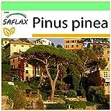 SAFLAX - Pinos pioneros - 6 semillas - Pinus pinea