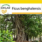 SAFLAX - Set de cultivo - Higuera de Bengala - 20 semillas - Con mini-invernadero, sustrato de cultivo y 2 maceteros - Ficus benghalensis