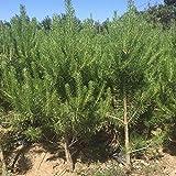 Semillas de rboles forestales Pinus sylvestris, villa de jardn, proteccin de taludes ecolgicos, siempre verde