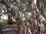 Ficus altissima Semillas exticos!