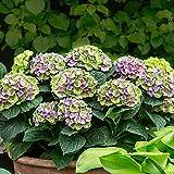 "Hydrangea macrophylla ""Magical Amethyst Blue""| Blue-Purple Hydrangea | Hardy | Height 30-40cm | Pot-Ø 23cm"