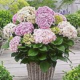 Hydrangea macrophylla Doppio Nuvola   Pink and Yellow Flowered schrub   Height 10-20cm   Pot Ø 12cm