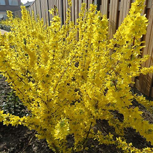 Forsythia x Intermedia Mikador | Forsythia de Paris jaune | Arbuste ornemental | Hauteur 20-25cm | Pot Ø 17cm