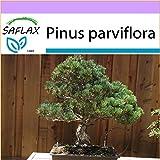 SAFLAX - Pino blanco japons - 12 semillas - Pinus parviflora