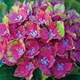 Hydrangea Garden Plants Colour Changing Flowers with Large Bright Blooms for Patio & Borders, 1 x Macrophylla Glam Rock Plant in a 9cm Pot by Thompson and Morgan