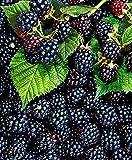 Kisshes Seedhouse - 100pcs Rare Délicieuses Mûre bio graines, sans épines,...