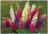 Lot de 20 graines de Lupin de Hartweg en mélange - plante annuelle