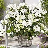 YouGarden Garland Hydrangea 'Runaway Bride' Bush 10.5cm Pot Plant, White